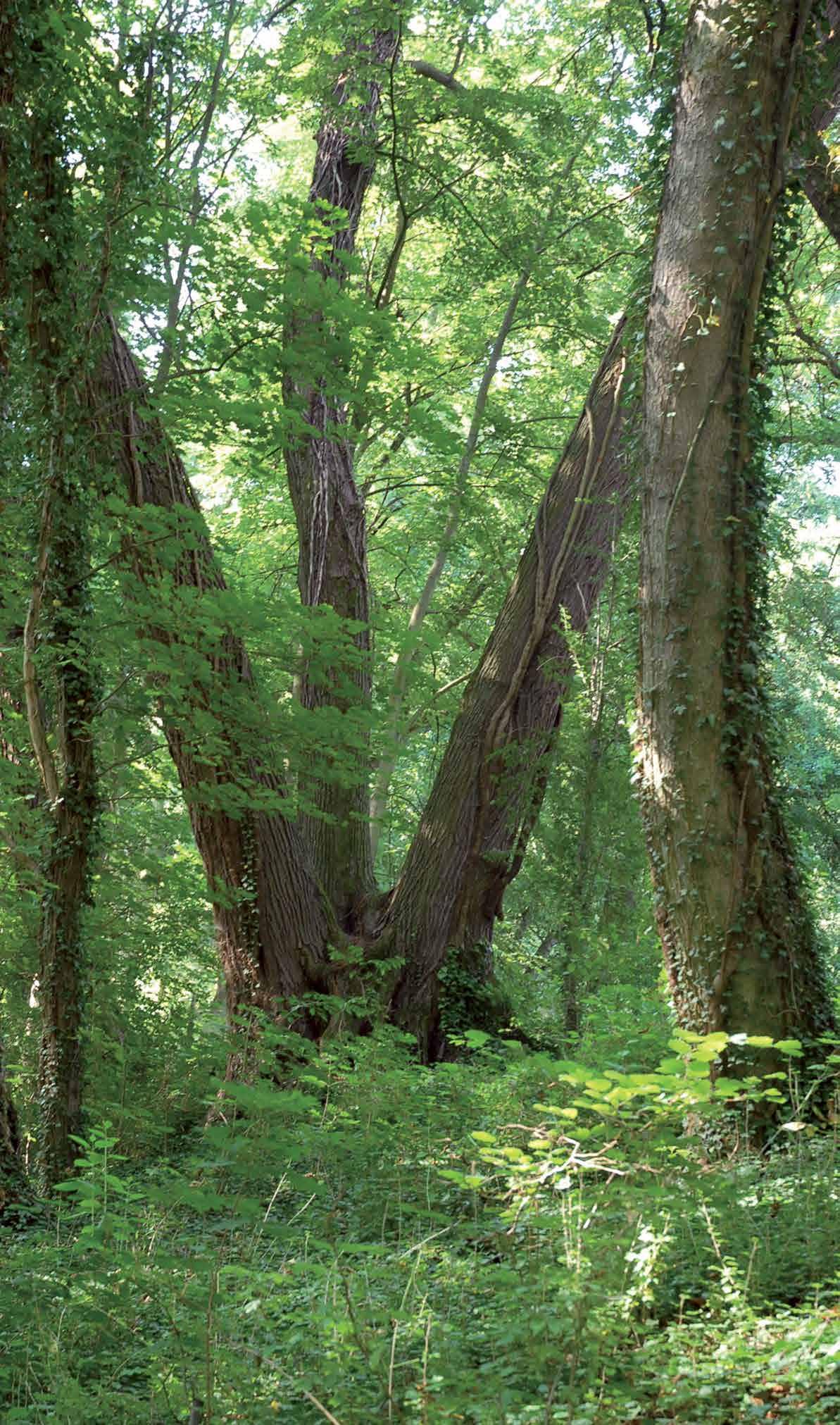 Eine Vorliebe der Baroness Johanne Christiane von Uckermann waren mehrstämmige, teils ineinander verschlungene Baumriesen. Hierfür wurden mehrere Einzelbäume nah beieinander gepflanzt (Fotograf: L. Koch).