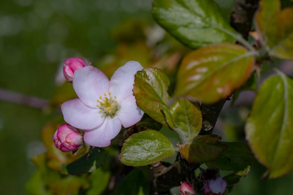 Apfelbaumblüte aus dem Obstsortengarten