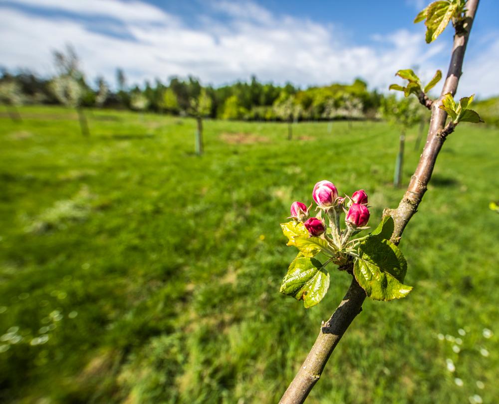 Apfelbaumknospe