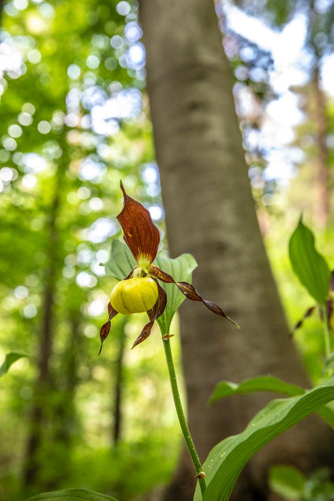 Frauenschuh (Orchidee)