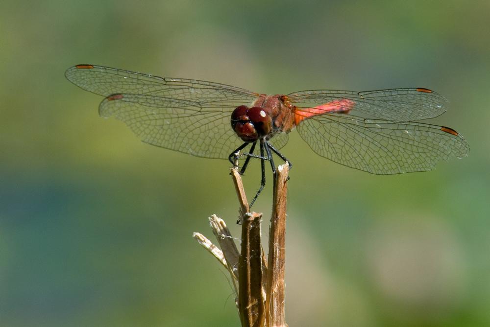 Libelle - © tarlanac