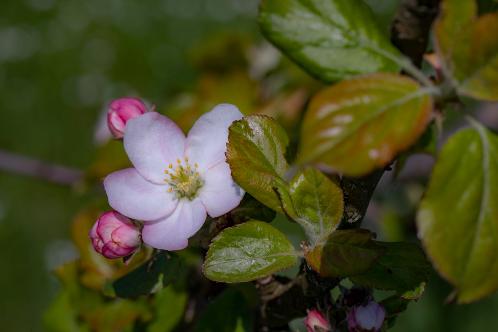 Blüte von Miris Kyffhäuser Apfel
