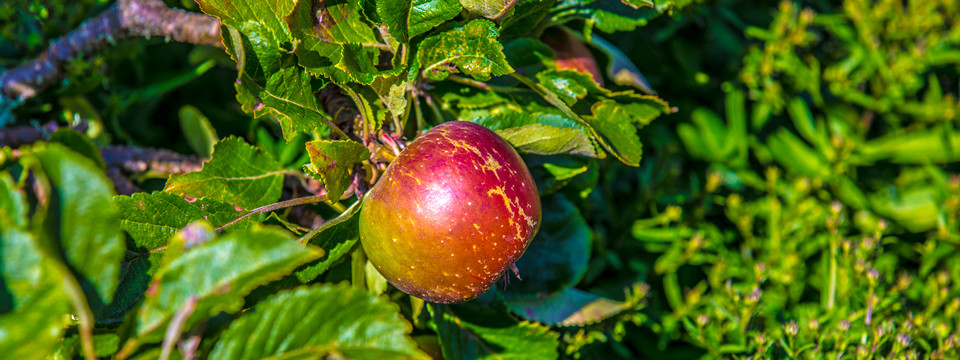 Miris Kyffhäuser Blog - Apfel