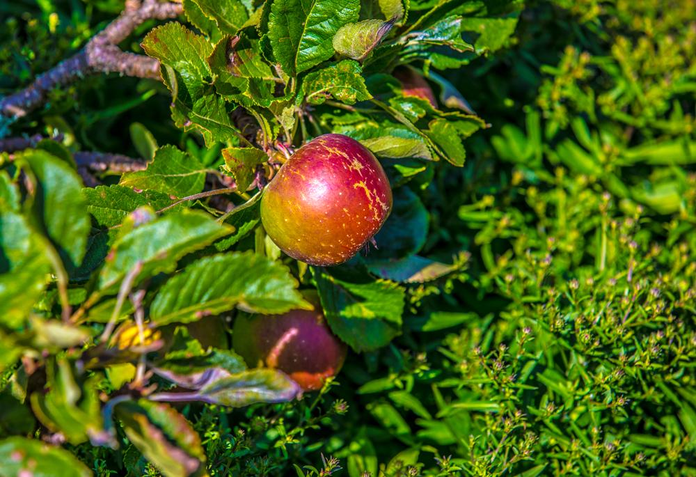 Äpfel aus dem Naturpark Kyffhäuser sind super lecker