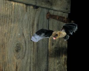Zwergfledermaus